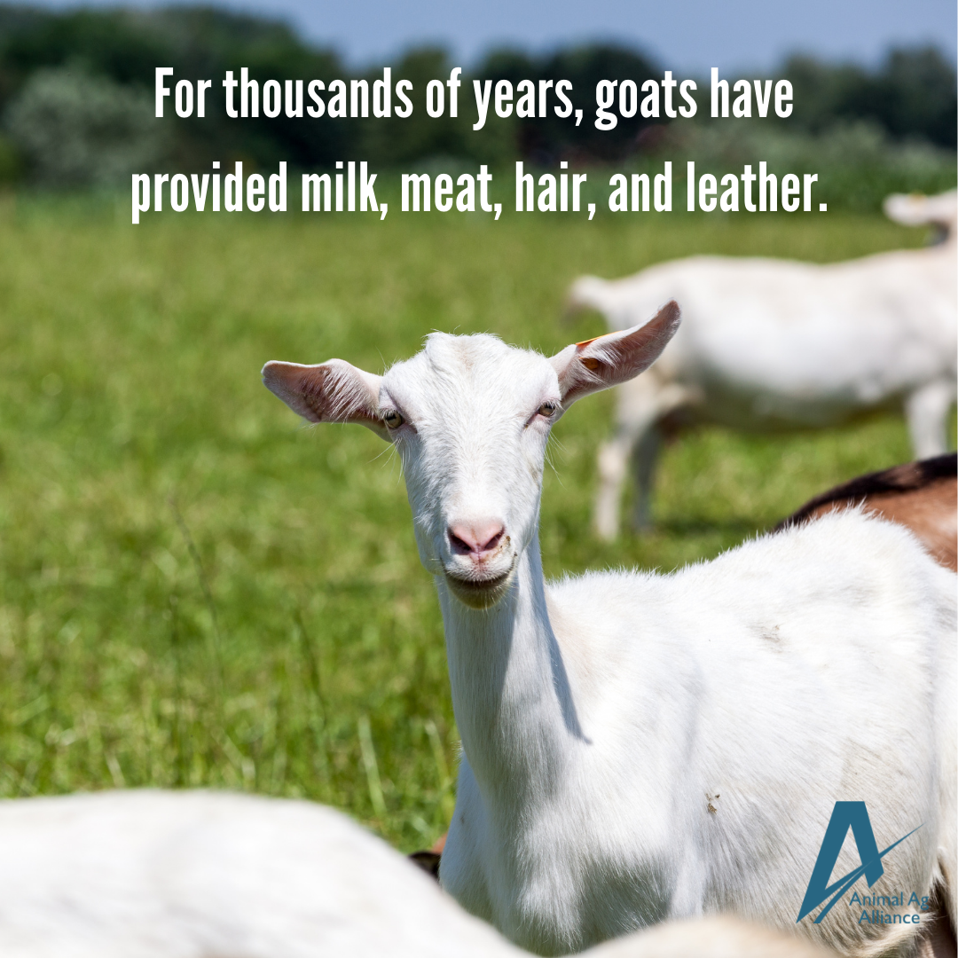 For thousands of years, goats have provided milk, meat, hair, and leather.
