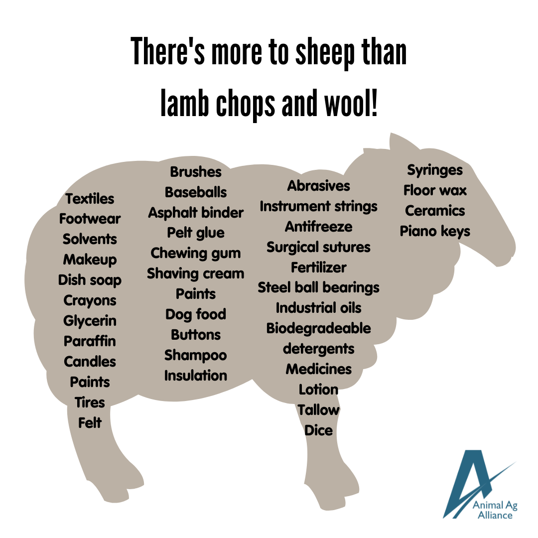 There's more to sheep than lamb chops and wool