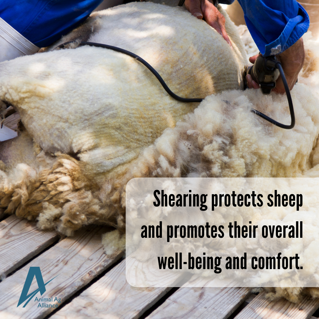 Shearing protects sheep and promotes their overall well-being and comfort.