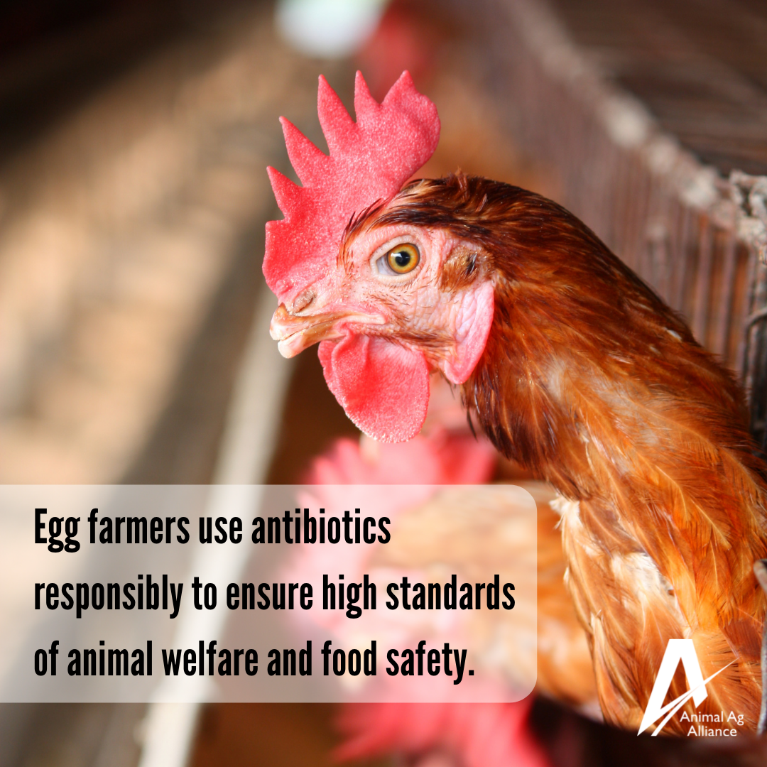 Egg farmers use antibiotics responsibly to ensure high standards of animal welfare and food safety