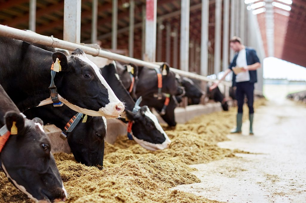 Holstein dairy cows eating their specially designed diet