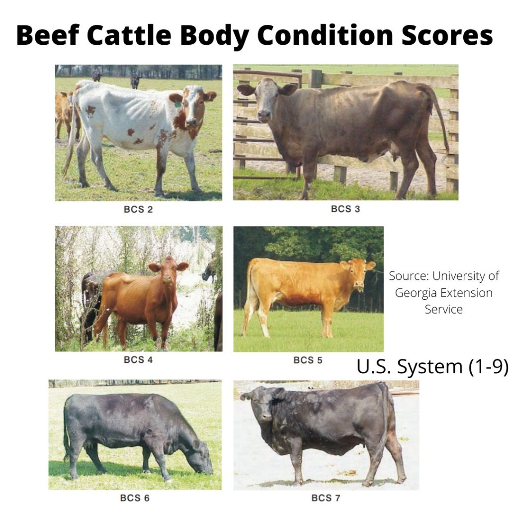 Beef cattle body condition scoring chart