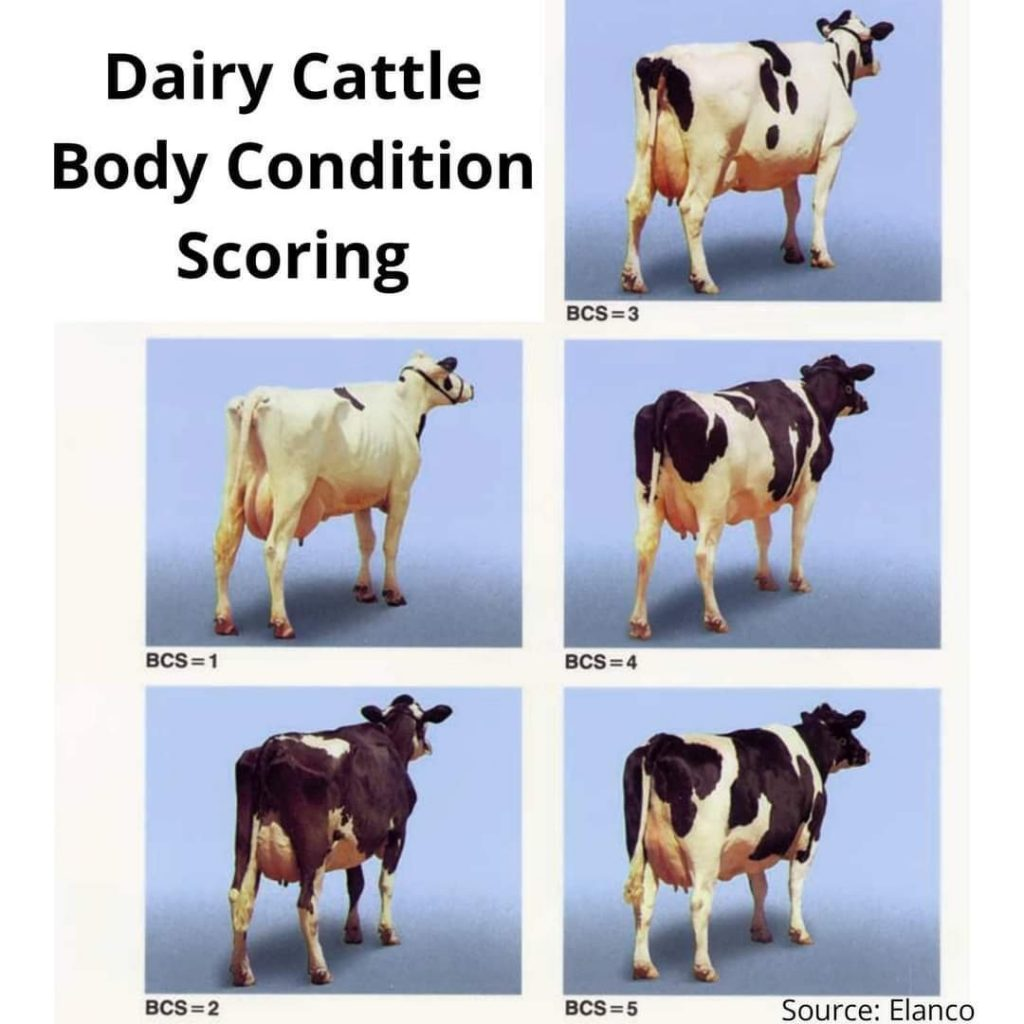 Dairy cattle body condition scoring chart
